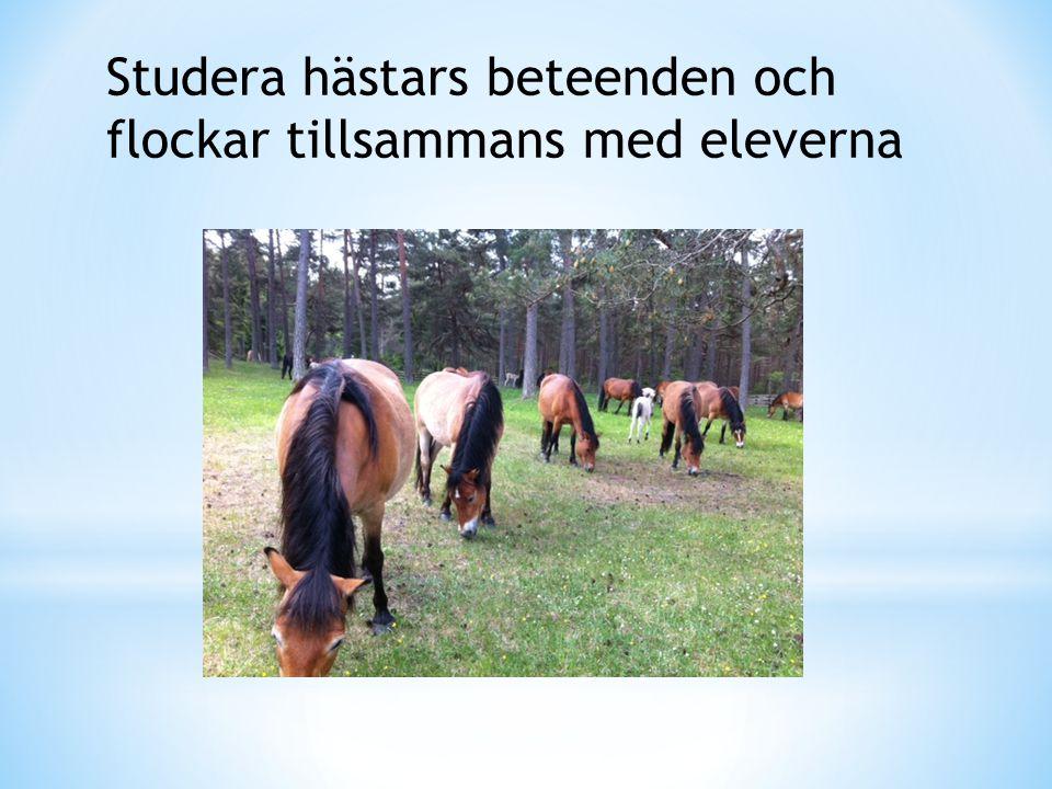 Studera hästars beteenden och flockar tillsammans med eleverna