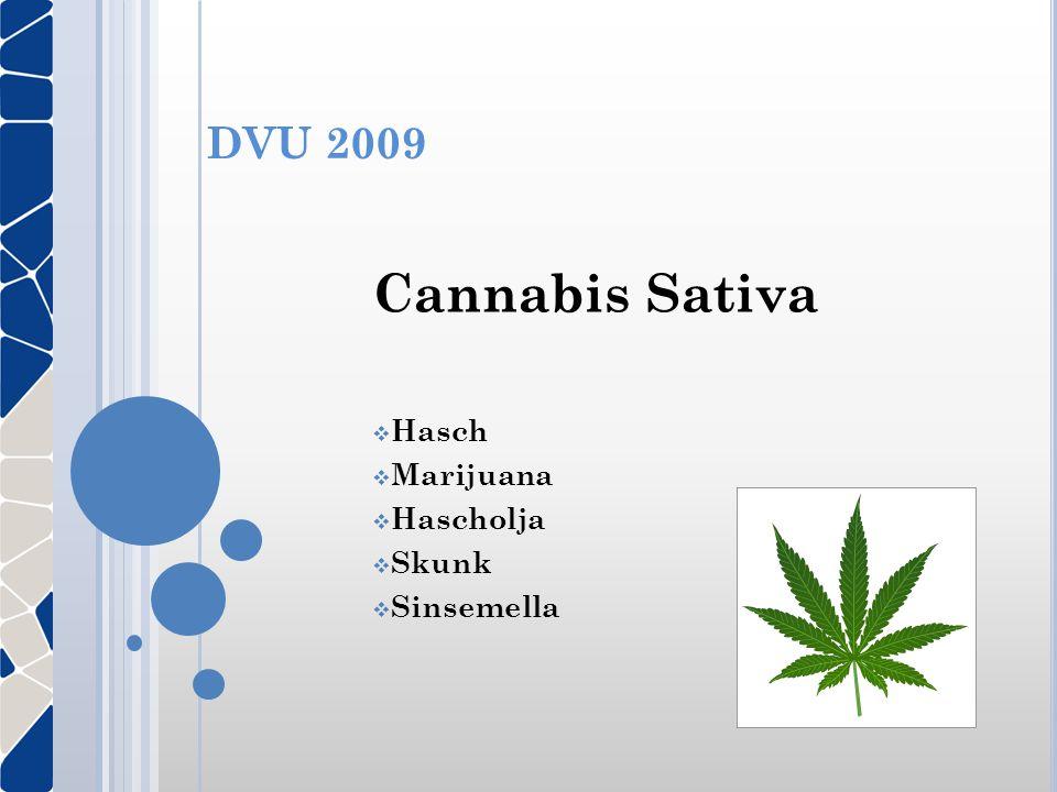 Cannabis Sativa Hasch Marijuana Hascholja Skunk Sinsemella