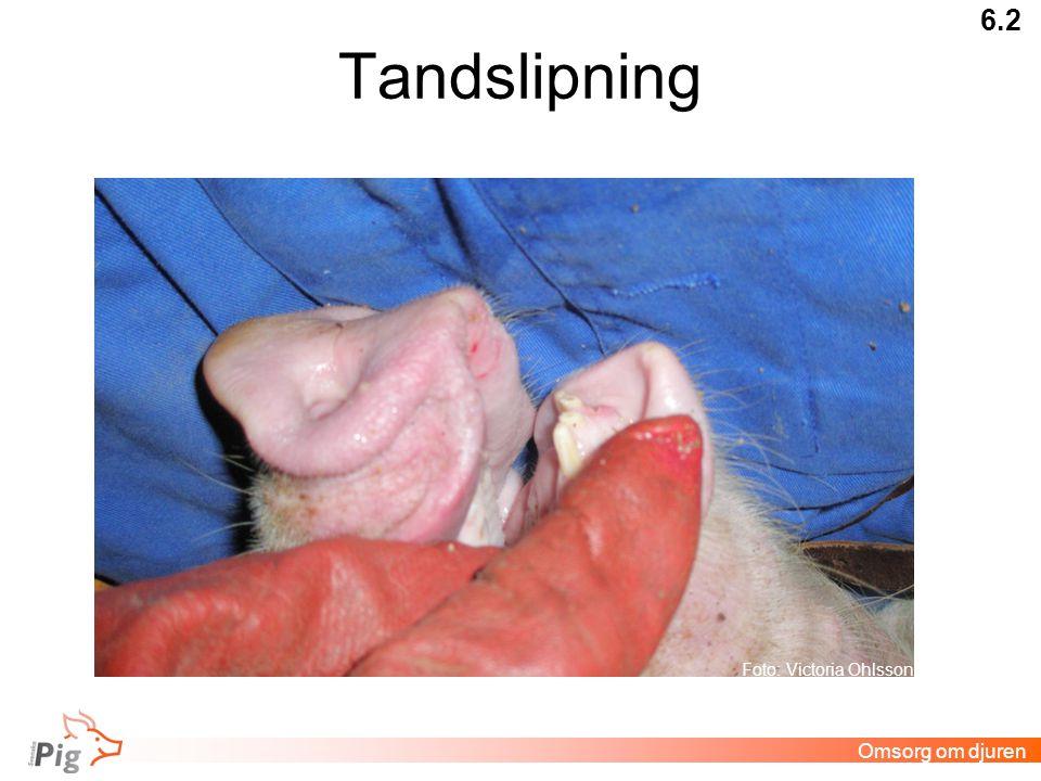 Tandslipning 6.2 Omsorg om djuren Foto: Victoria Ohlsson