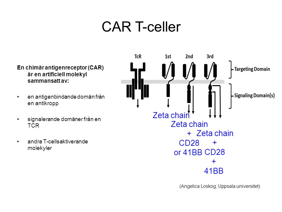 CAR T-celler Zeta chain + CD28 or 41BB 41BB