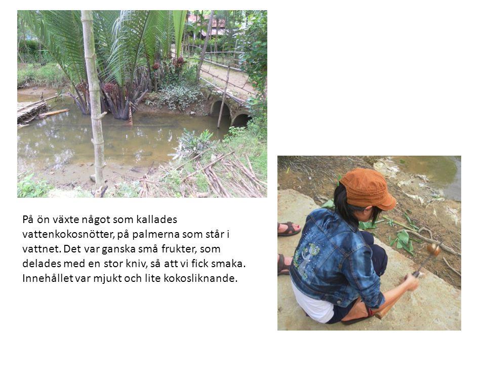 På ön växte något som kallades vattenkokosnötter, på palmerna som står i vattnet.