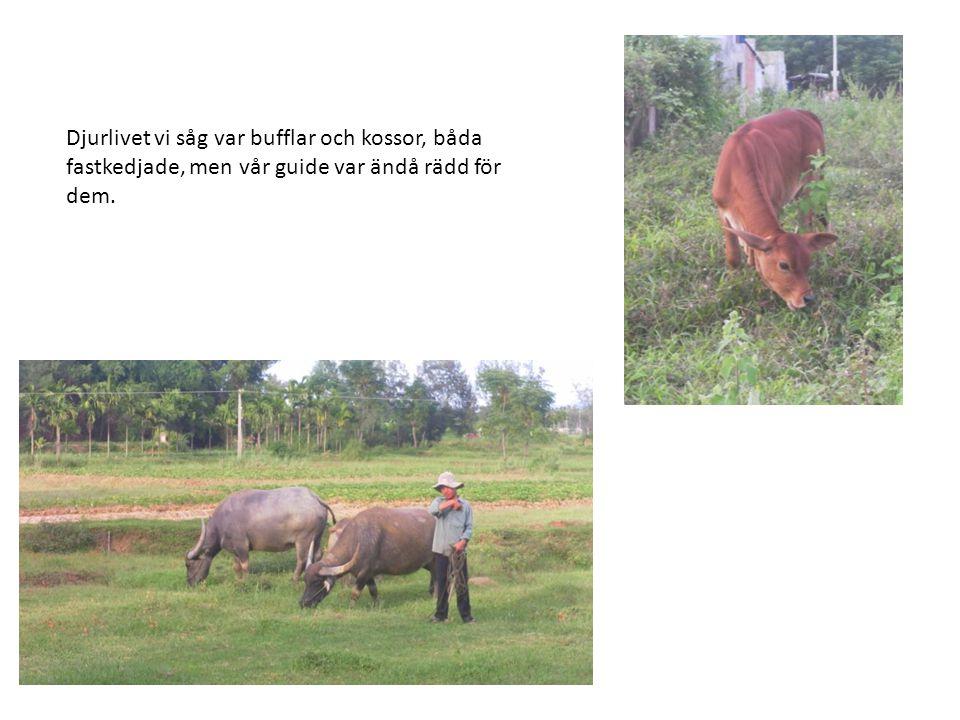 Djurlivet vi såg var bufflar och kossor, båda fastkedjade, men vår guide var ändå rädd för dem.