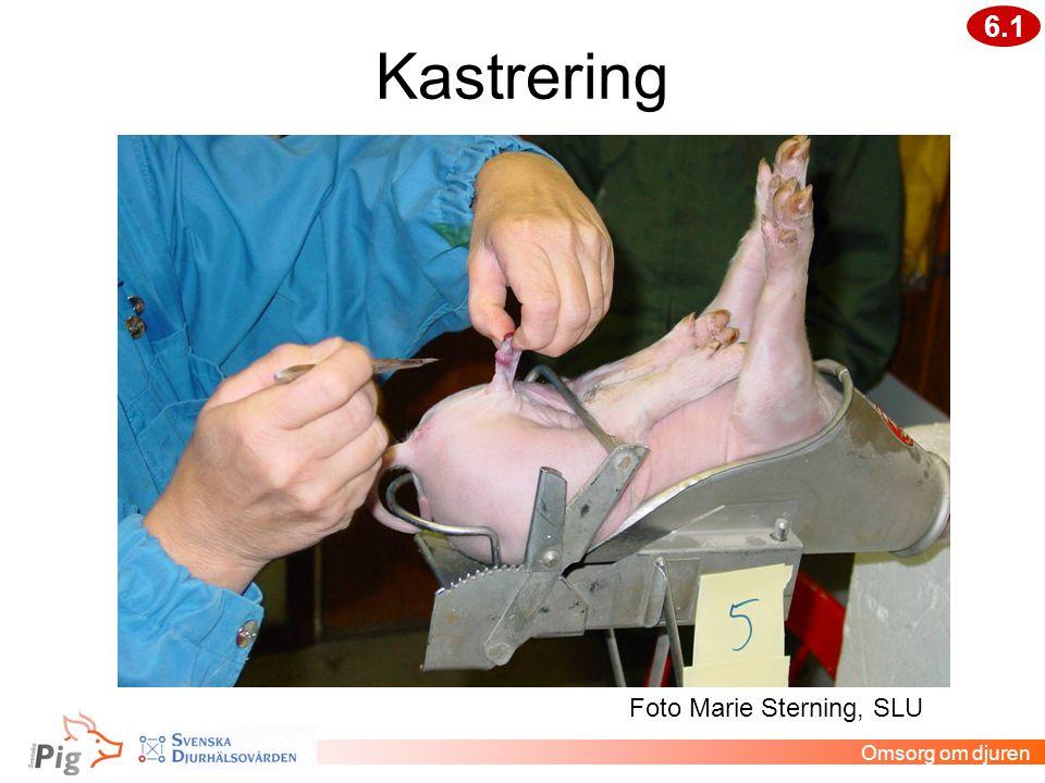 Kastrering 6.1 Foto Marie Sterning, SLU Omsorg om djuren Veterinär