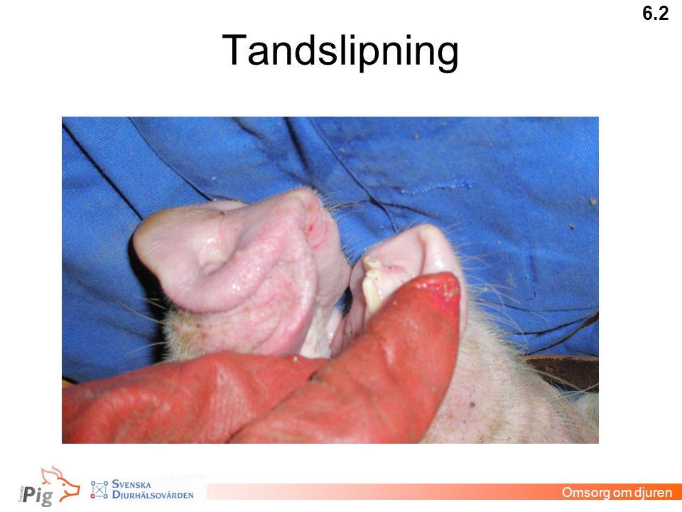 Tandslipning 6.2 Omsorg om djuren Veterinär