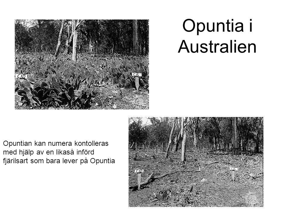 Opuntia i Australien Opuntian kan numera kontolleras