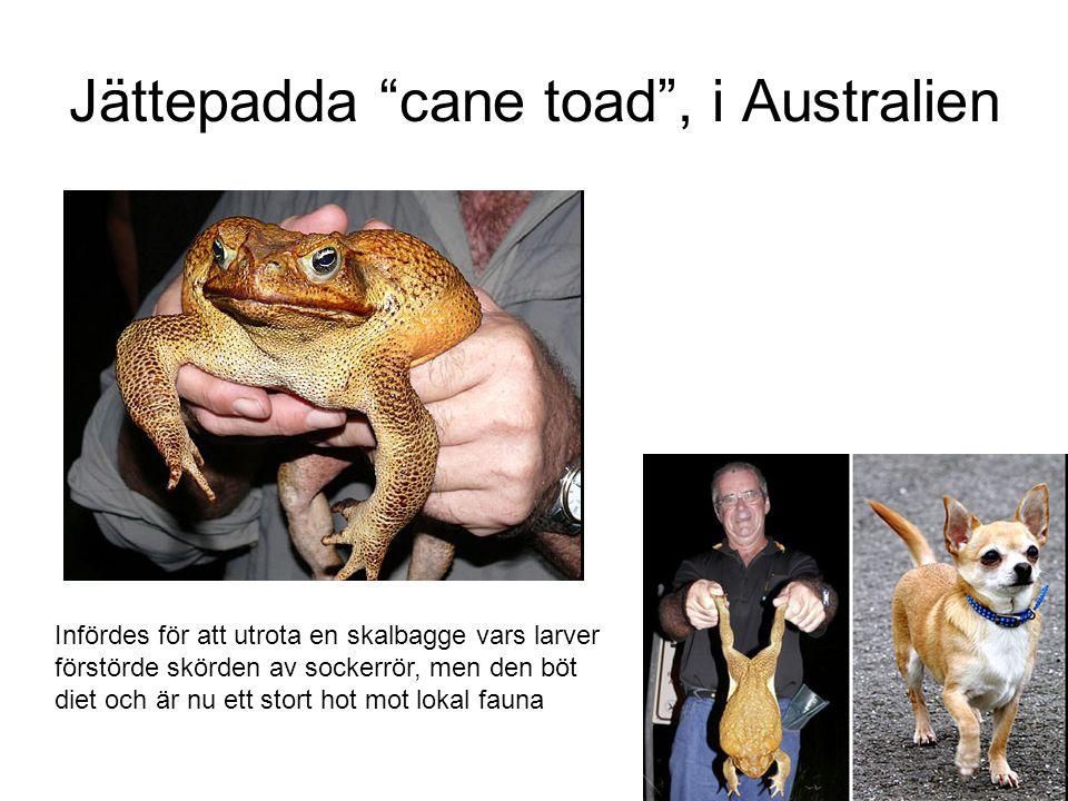 Jättepadda cane toad , i Australien