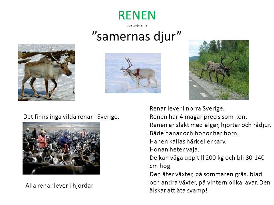 RENEN boatsoj/rejna samernas djur
