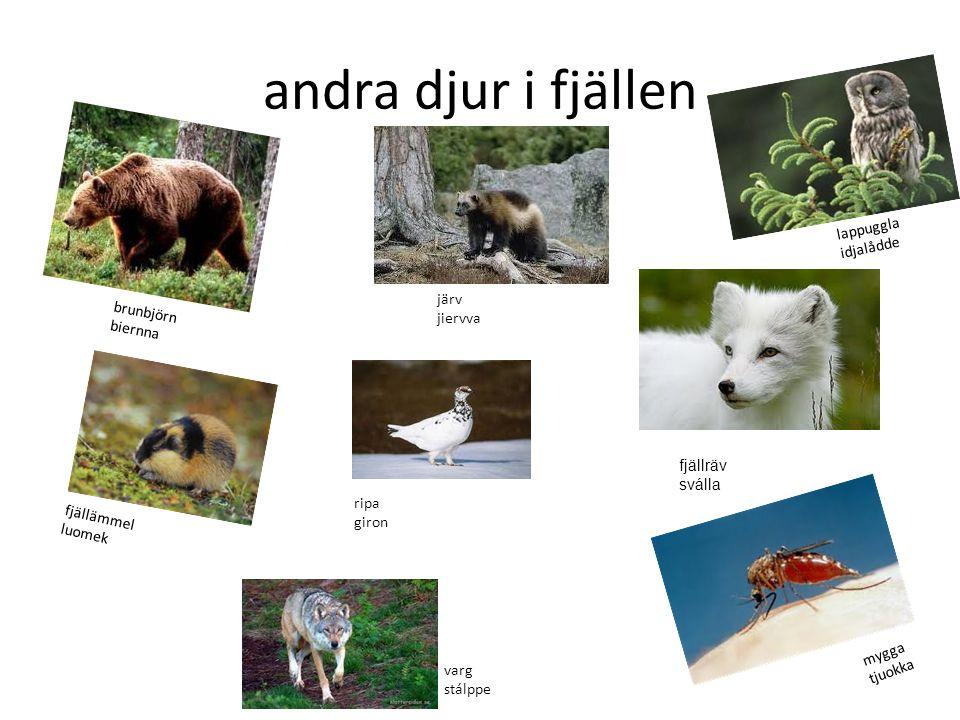 andra djur i fjällen lappuggla idjalådde järv brunbjörn jiervva