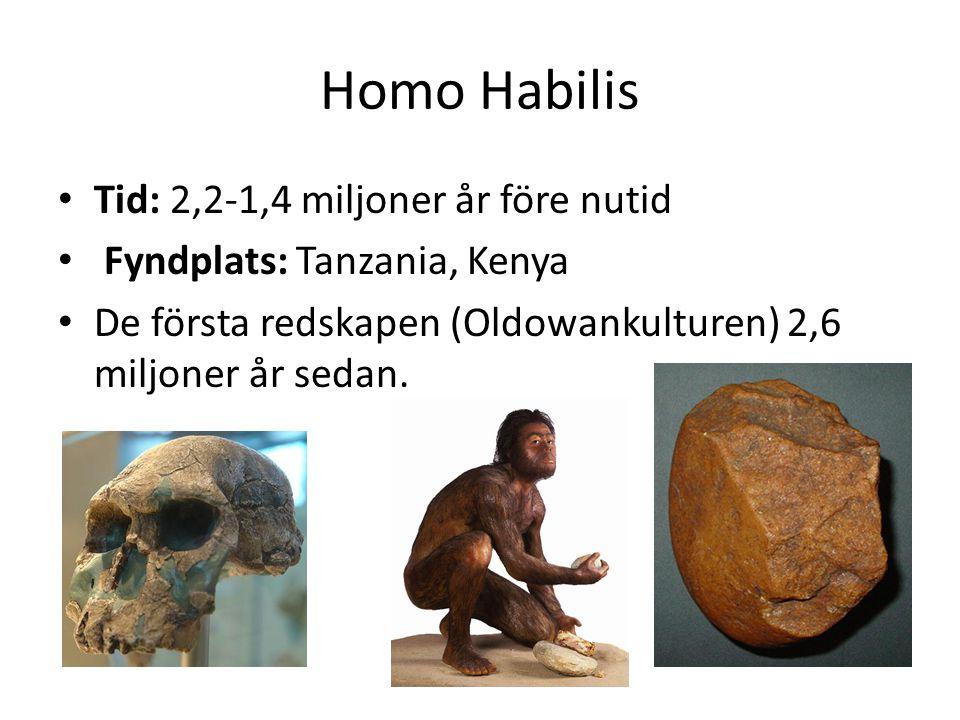 Homo Habilis Tid: 2,2-1,4 miljoner år före nutid