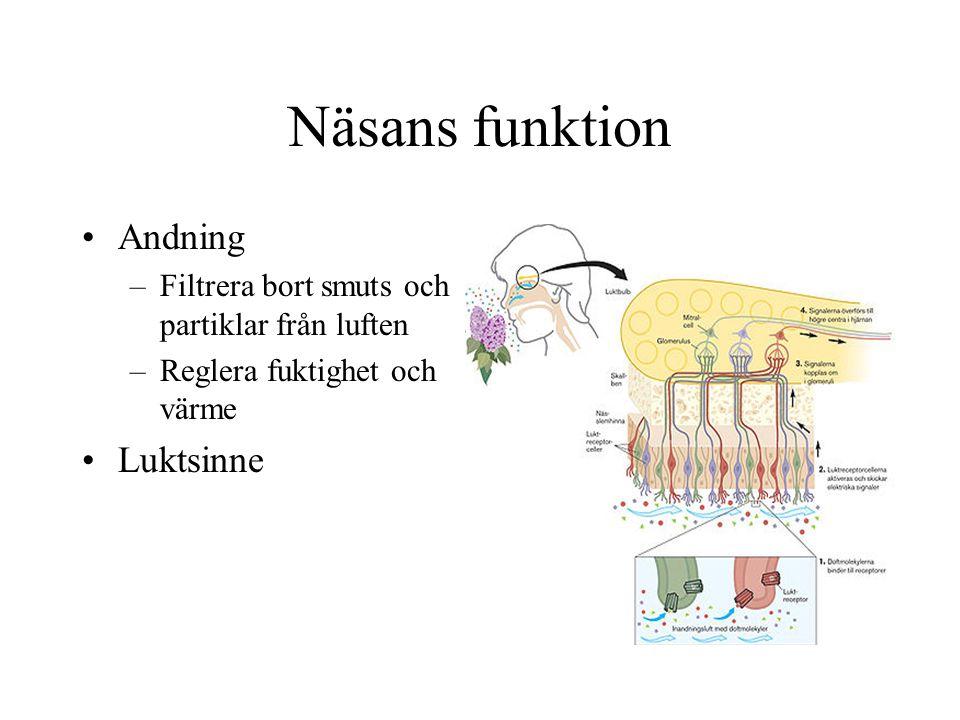 Näsans funktion Andning Luktsinne