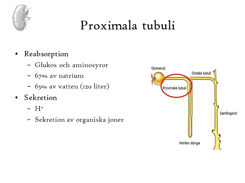 Proximala tubuli Reabsorption Sekretion Glukos och aminosyror