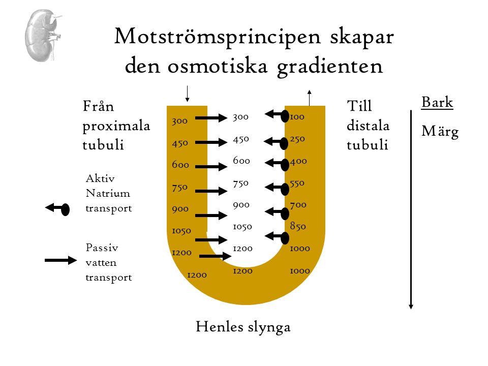 Motströmsprincipen skapar den osmotiska gradienten