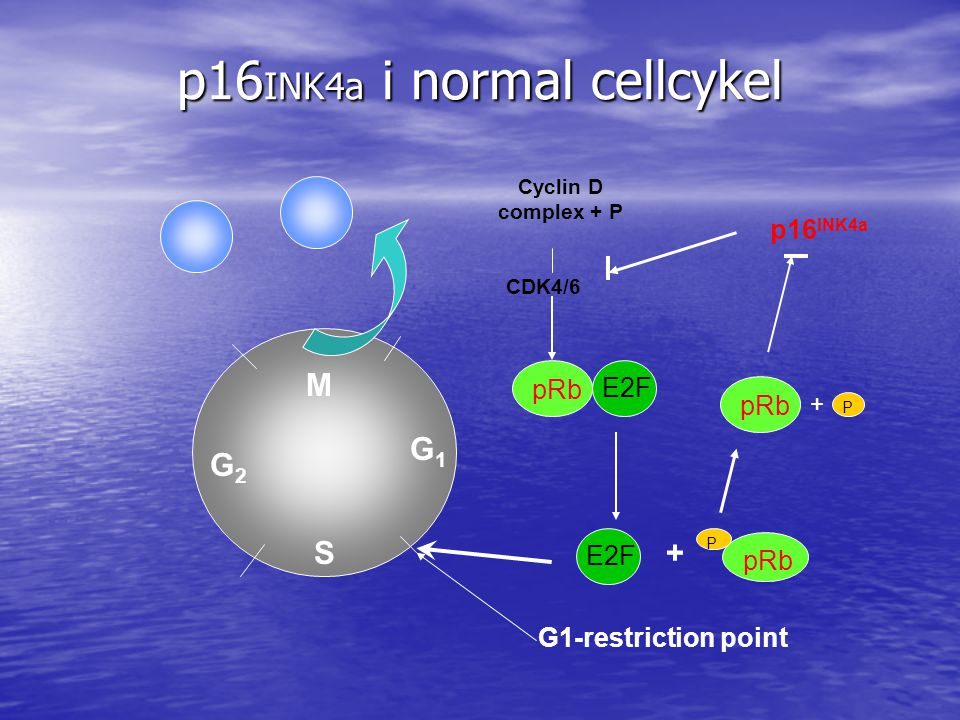 p16INK4a i normal cellcykel