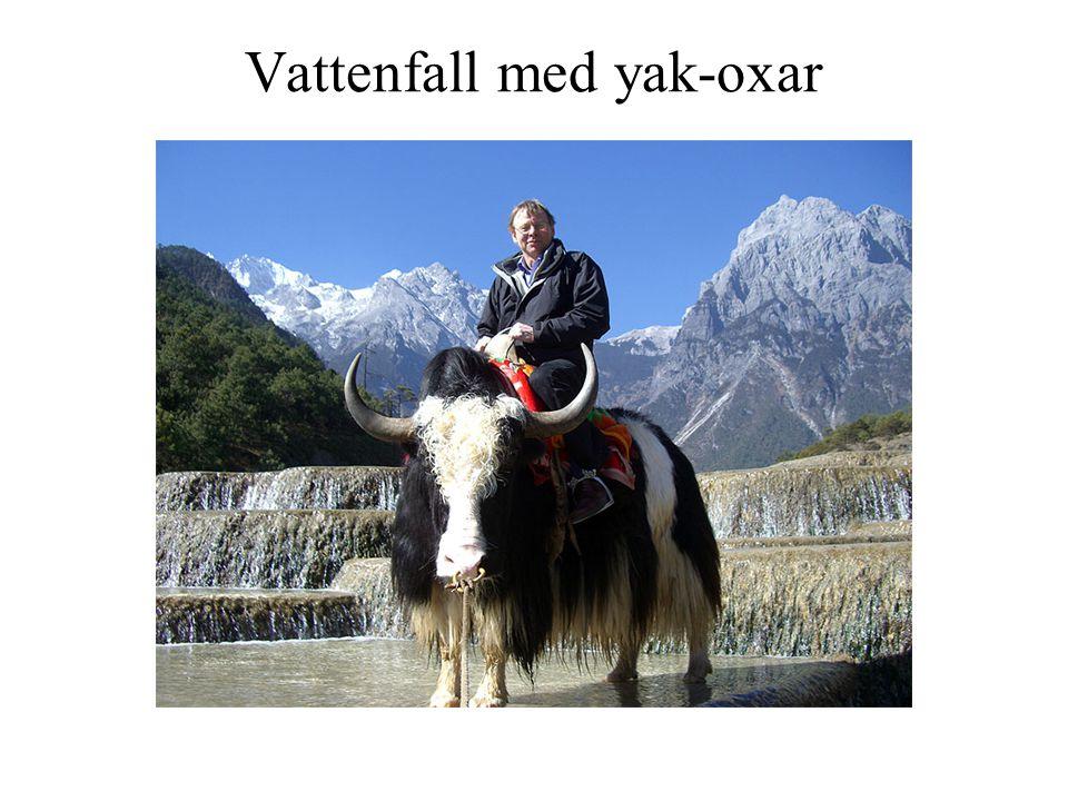 Vattenfall med yak-oxar