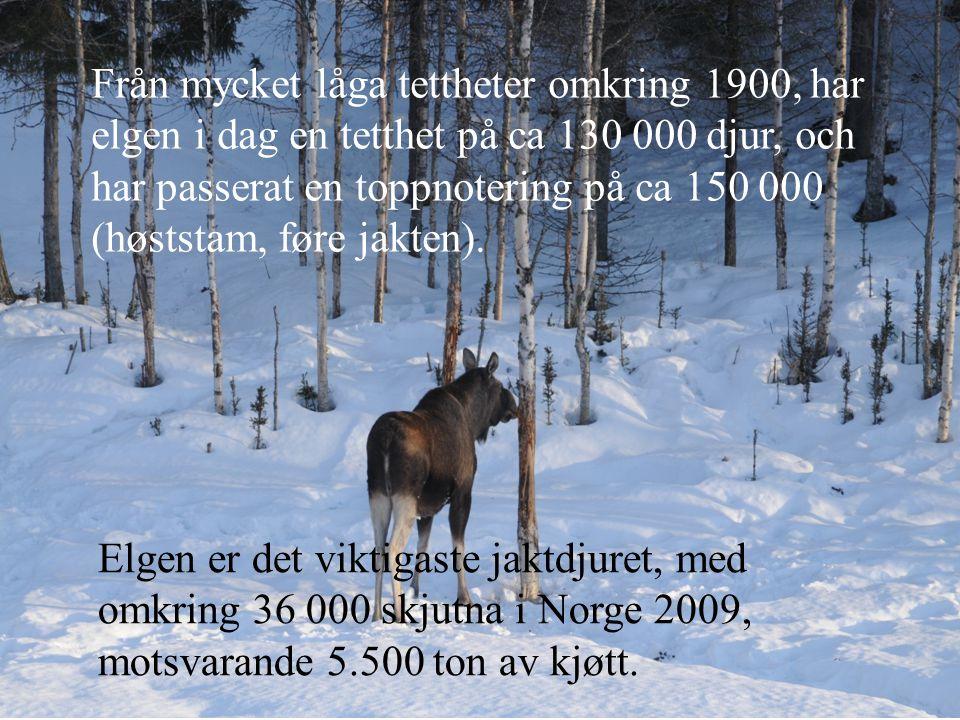 Från mycket låga tettheter omkring 1900, har elgen i dag en tetthet på ca 130 000 djur, och har passerat en toppnotering på ca 150 000 (høststam, føre jakten).