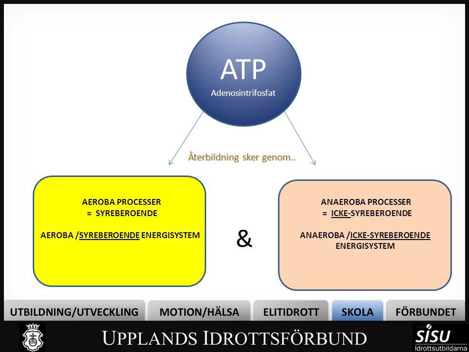 ATP & Återbildning sker genom.. Adenosintrifosfat AEROBA PROCESSER