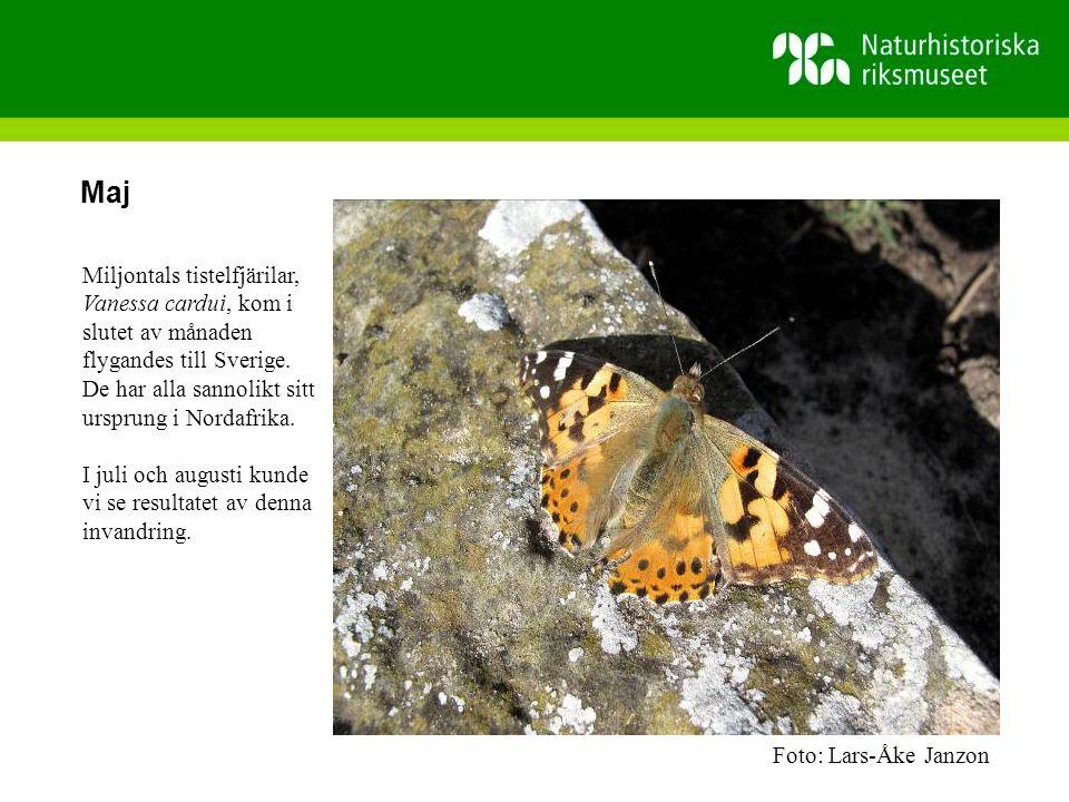 Maj Miljontals tistelfjärilar, Vanessa cardui, kom i