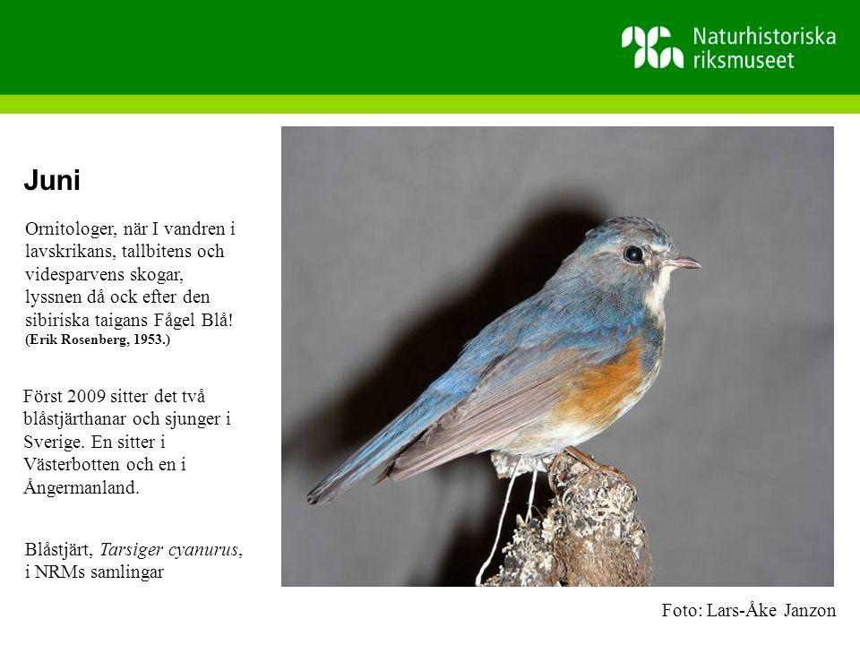 Juni Ornitologer, när I vandren i lavskrikans, tallbitens och videsparvens skogar, lyssnen då ock efter den sibiriska taigans Fågel Blå!