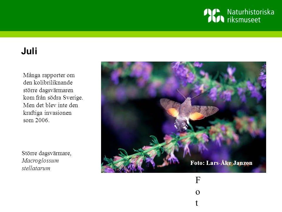 Juli FFoto Många rapporter om den kolibriliknande större dagsvärmaren