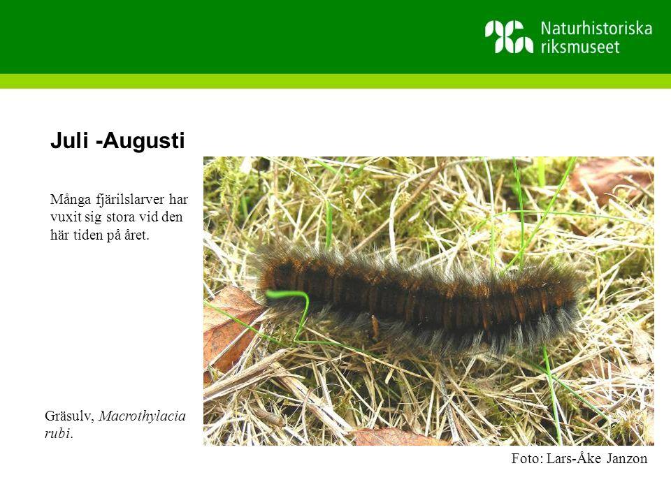 Juli -Augusti Många fjärilslarver har vuxit sig stora vid den