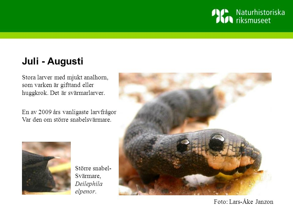 Juli - Augusti Stora larver med mjukt analhorn,