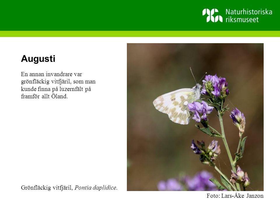 Augusti En annan invandrare var grönfläckig vitfjäril, som man