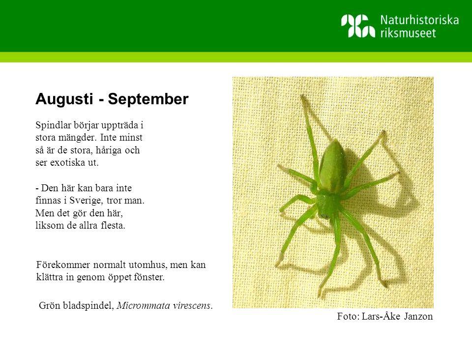 Augusti - September Spindlar börjar uppträda i