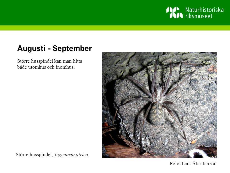 Augusti - September Större husspindel kan man hitta