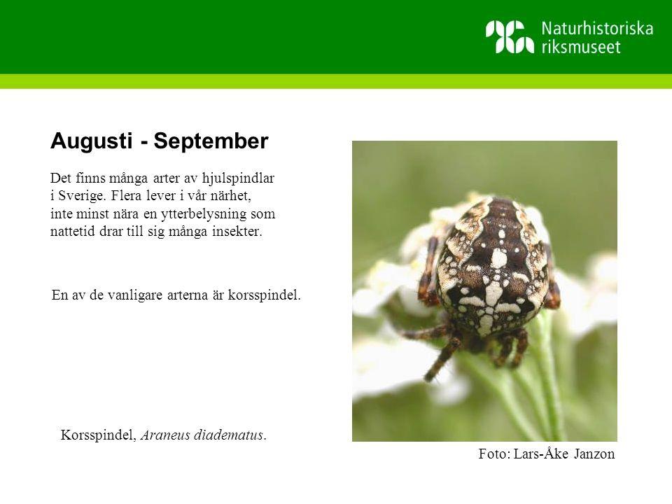 Augusti - September Det finns många arter av hjulspindlar