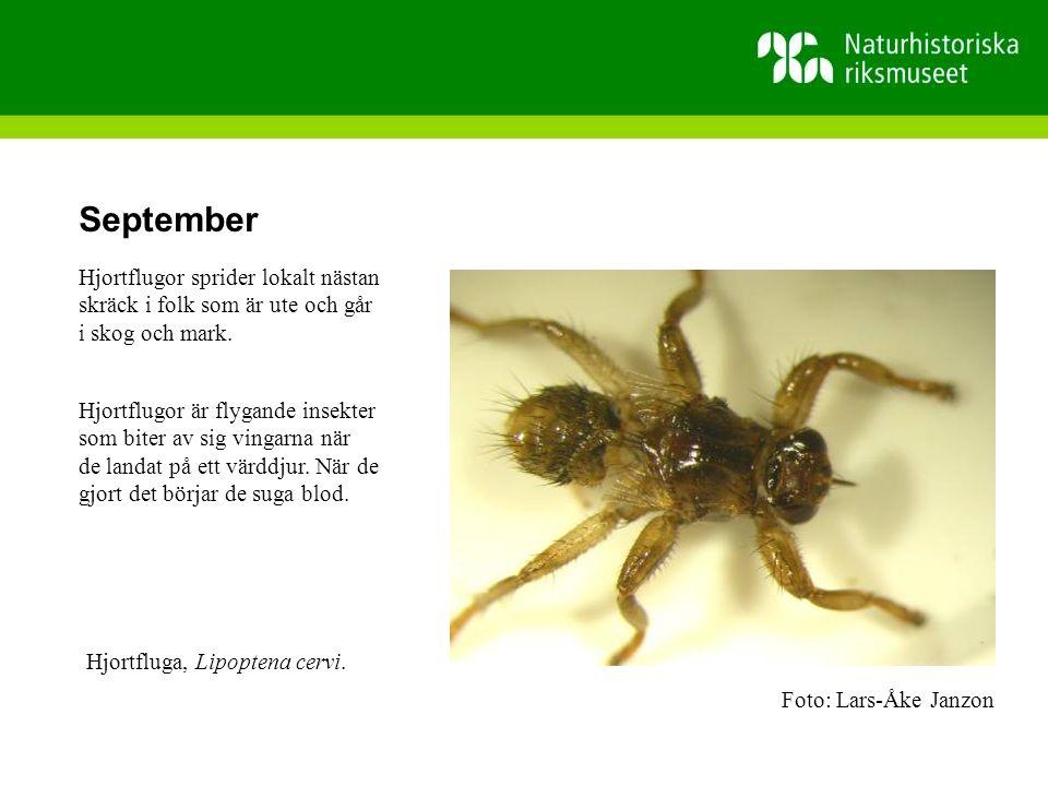 September Hjortflugor sprider lokalt nästan