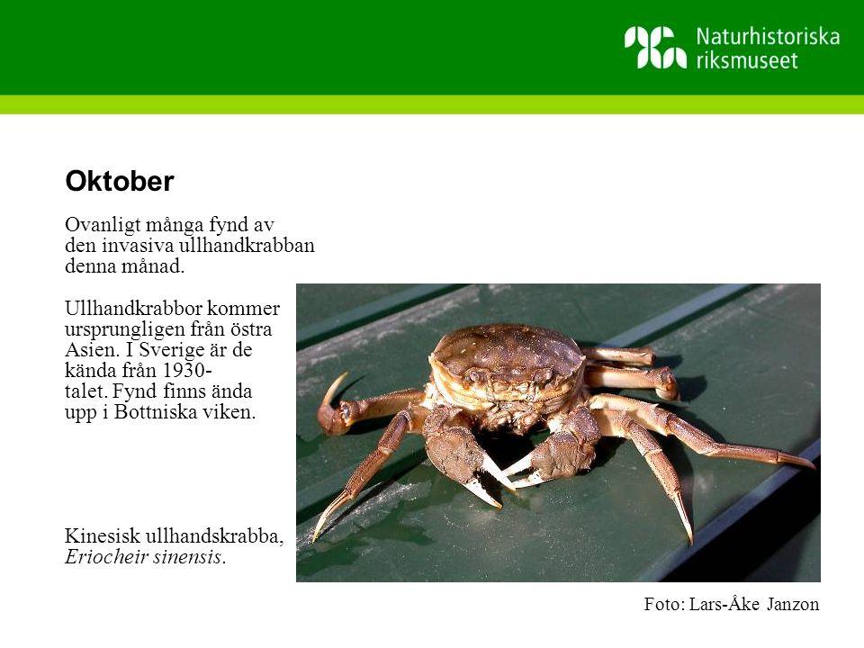 Oktober Ovanligt många fynd av den invasiva ullhandkrabban