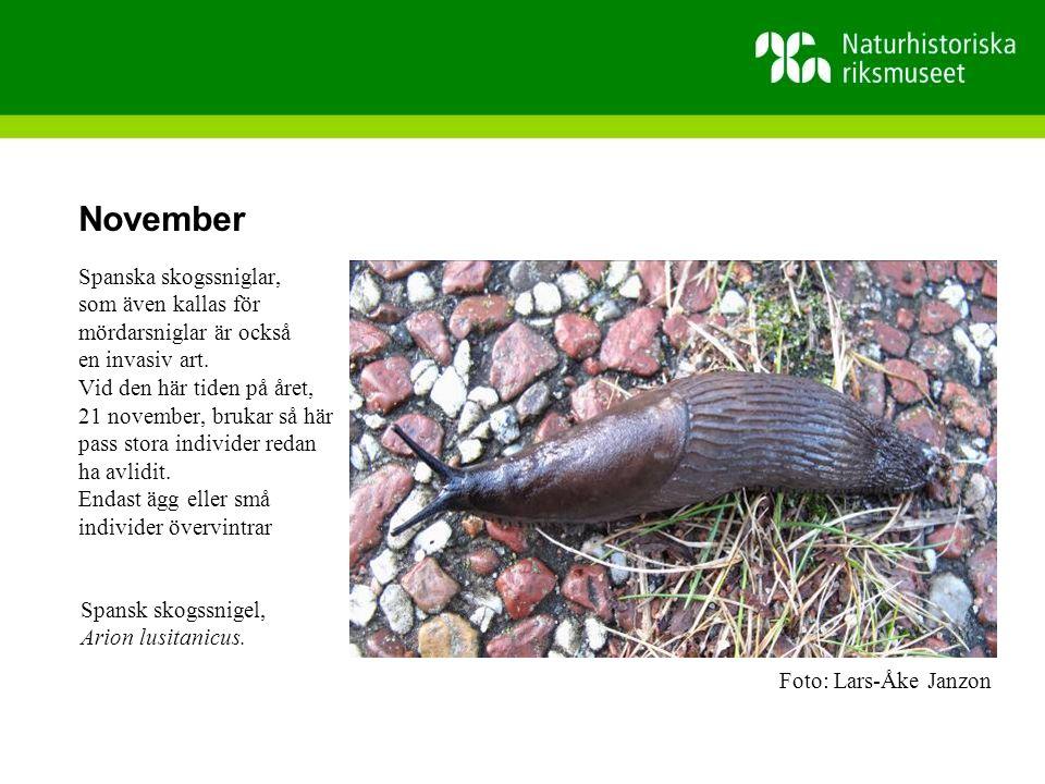 November Spanska skogssniglar, som även kallas för