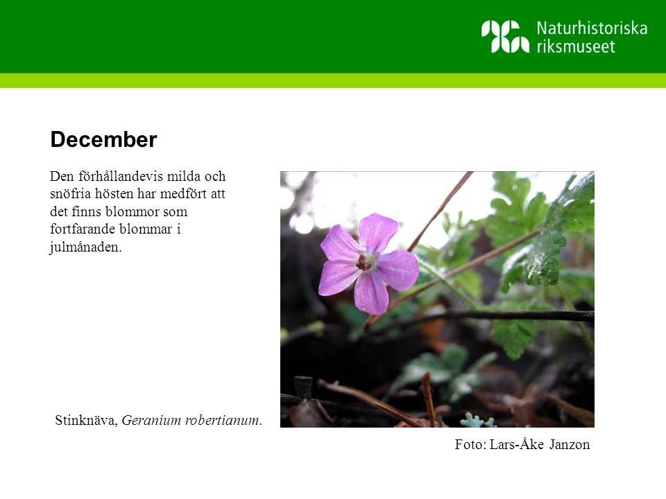 December Den förhållandevis milda och snöfria hösten har medfört att