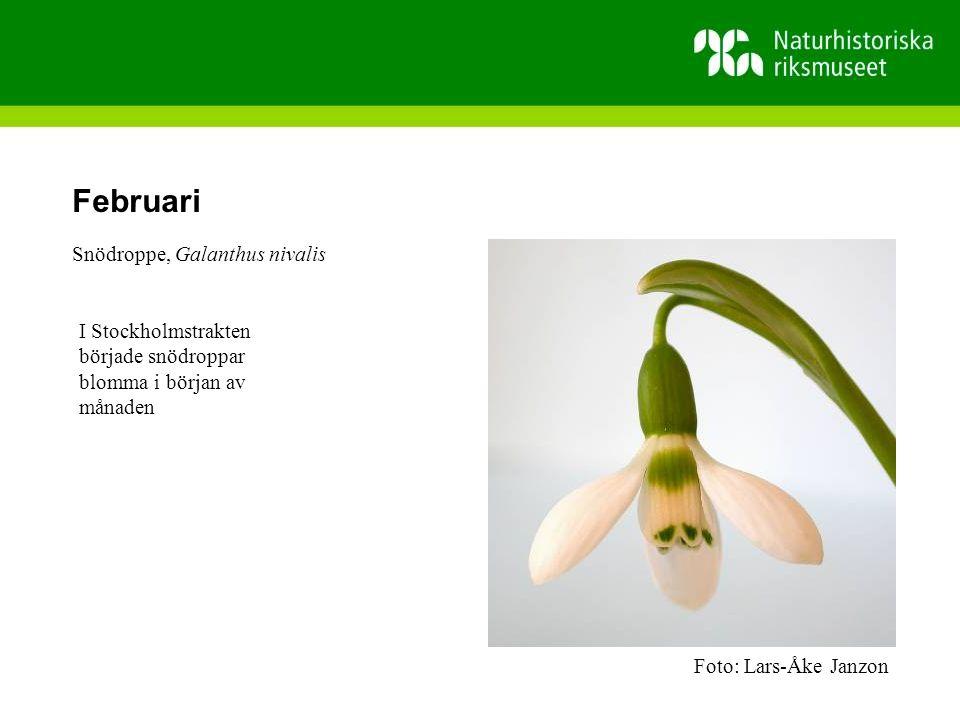 Februari Snödroppe, Galanthus nivalis I Stockholmstrakten