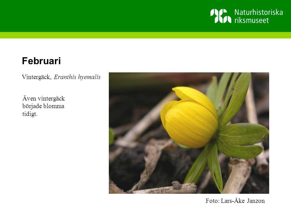 Februari Vintergäck, Eranthis hyemalis
