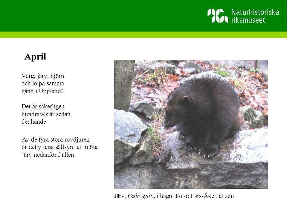 April Varg, järv, björn och lo på samma gång i Uppland!