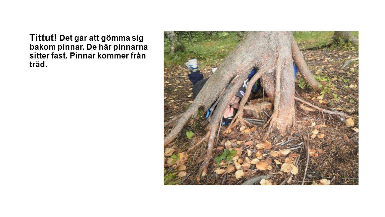 Tittut! Det går att gömma sig bakom pinnar. De här pinnarna sitter fast. Pinnar kommer från träd.