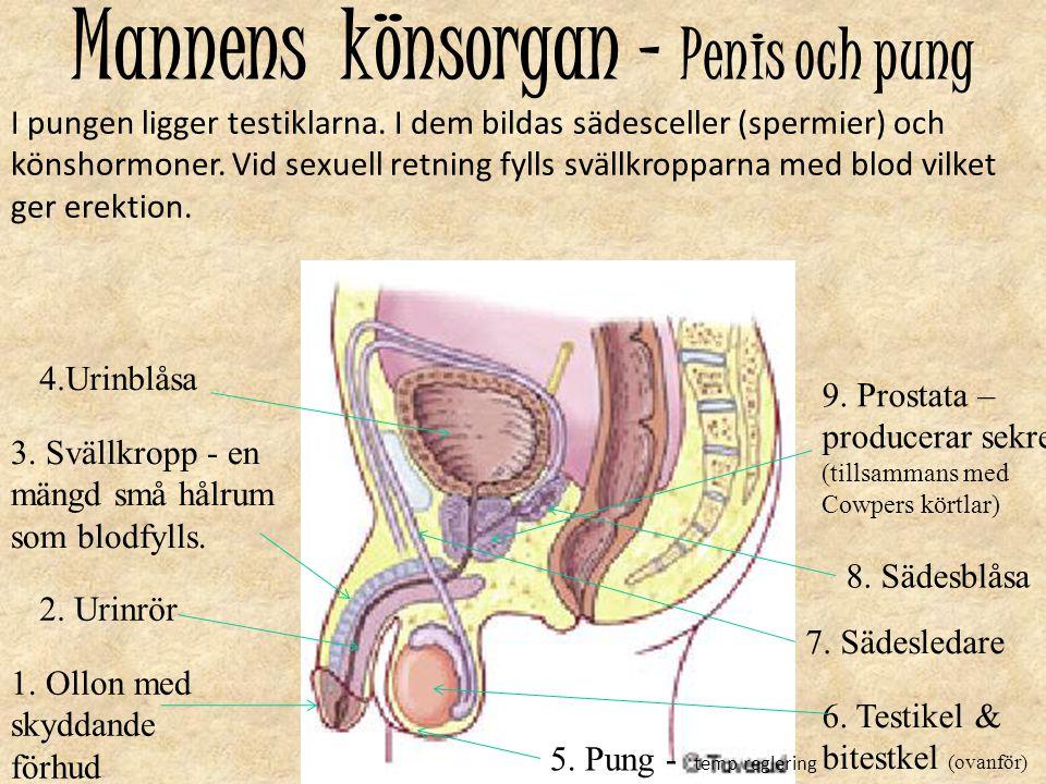 Mannens könsorgan – Penis och pung