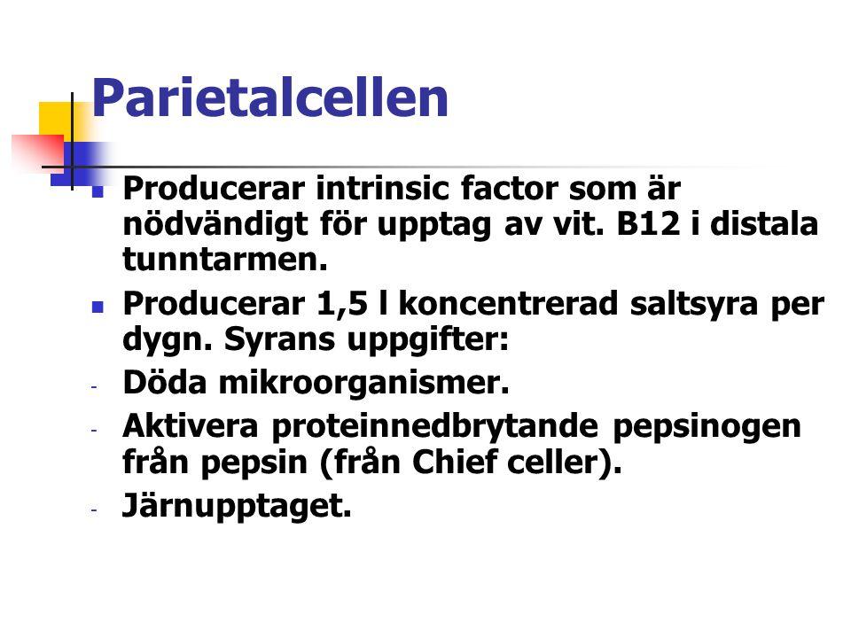 Parietalcellen Producerar intrinsic factor som är nödvändigt för upptag av vit. B12 i distala tunntarmen.