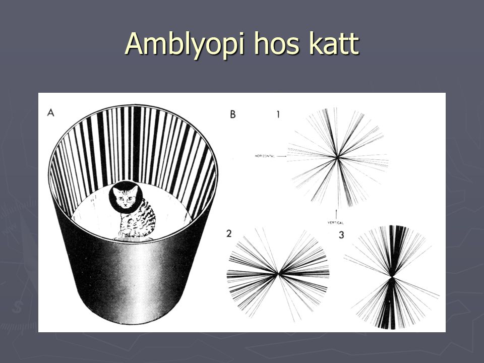 Amblyopi hos katt Nervsystemets fysiologi Ottosson D. Sid 387 fig 13.31. Originalet från Blakemore New Scientist vol 51, 1971.
