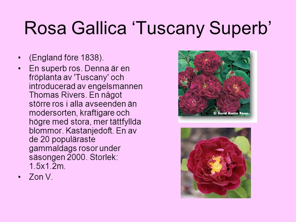 Rosa Gallica 'Tuscany Superb'