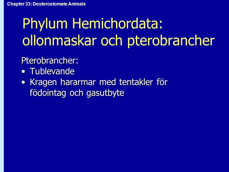 Phylum Hemichordata: ollonmaskar och pterobrancher