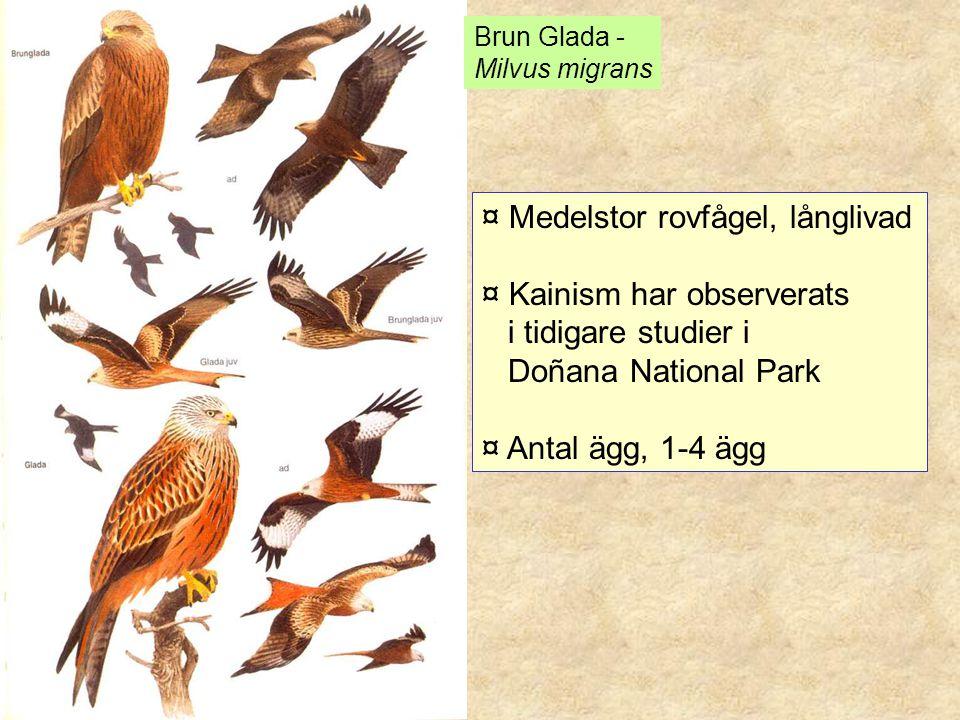 ¤ Medelstor rovfågel, långlivad ¤ Kainism har observerats