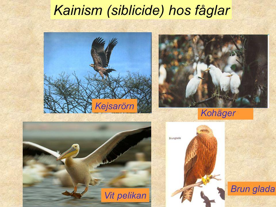 Kainism (siblicide) hos fåglar