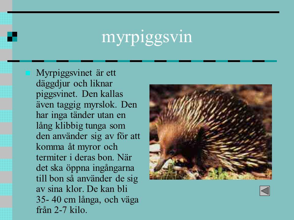 myrpiggsvin