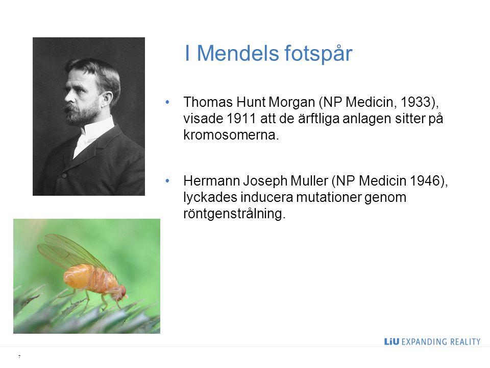I Mendels fotspår Thomas Hunt Morgan (NP Medicin, 1933), visade 1911 att de ärftliga anlagen sitter på kromosomerna.