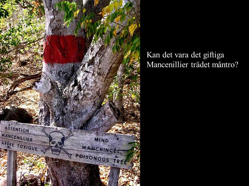 Kan det vara det giftiga Mancenillier trädet måntro