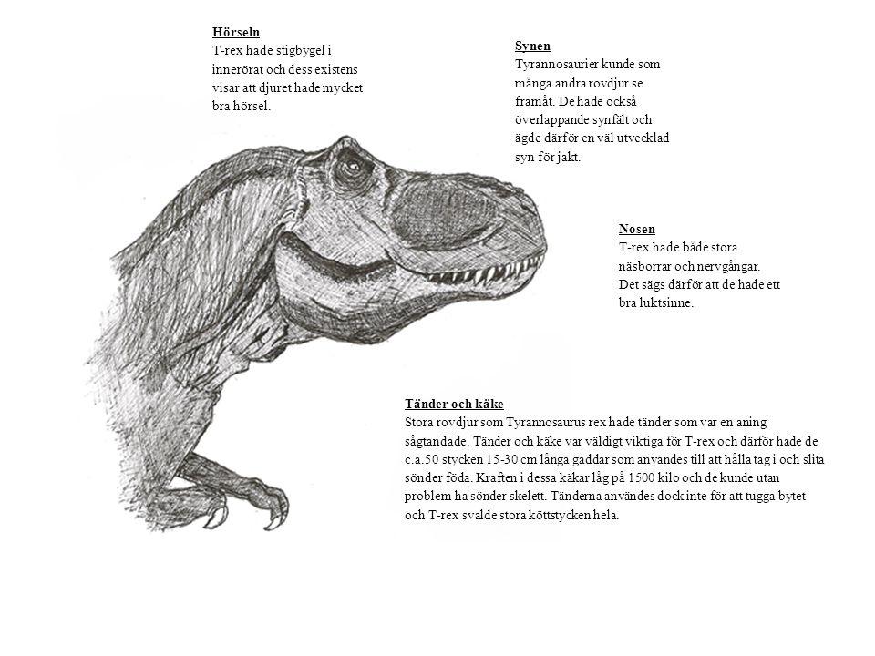 Hörseln T-rex hade stigbygel i innerörat och dess existens visar att djuret hade mycket bra hörsel.