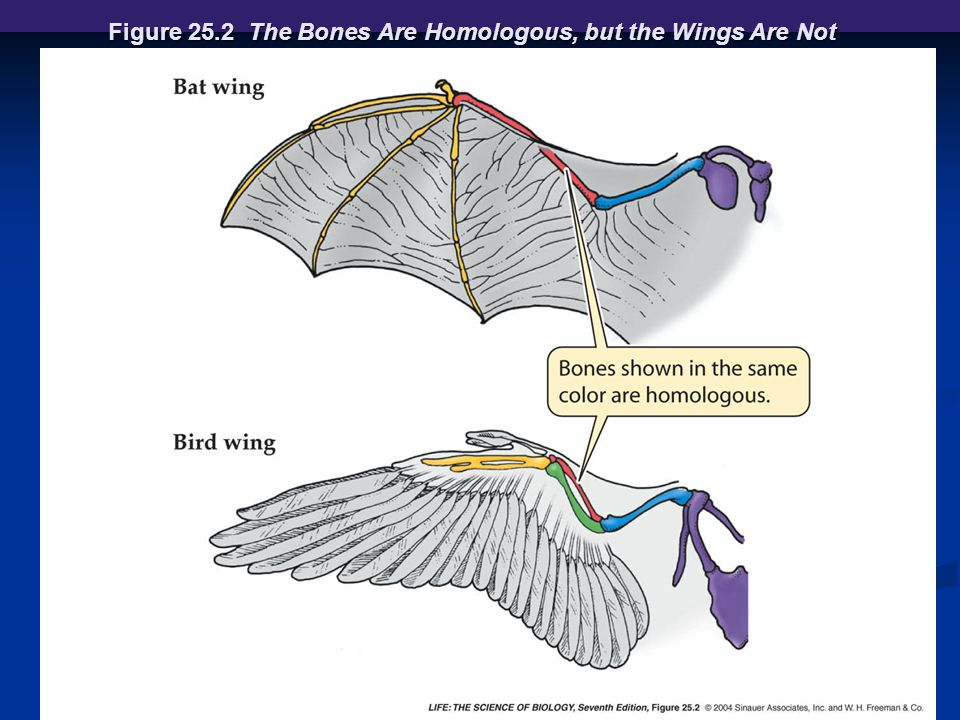 Figure 25.2 The Bones Are Homologous, but the Wings Are Not