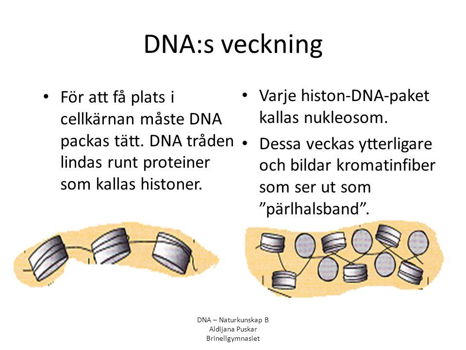 DNA:s veckning För att få plats i cellkärnan måste DNA packas tätt. DNA tråden lindas runt proteiner som kallas histoner.